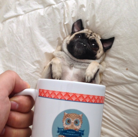 #muttmuggin on instagram pug dog
